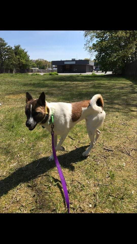 Darla, an adoptable Border Collie Mix in Medford, NY