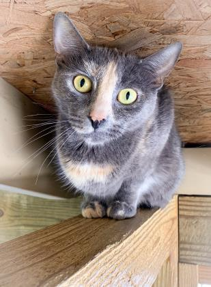 Athena, an adoptable Domestic Medium Hair & Domestic Short Hair Mix in Bloomsburg, PA