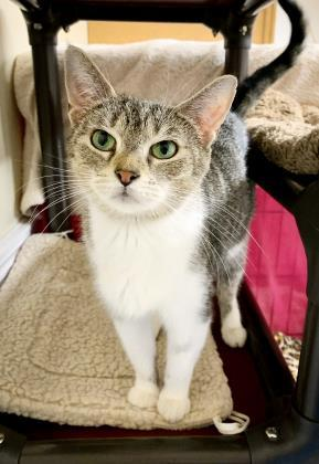 Mittens, an adoptable Domestic Short Hair in Bloomsburg, PA