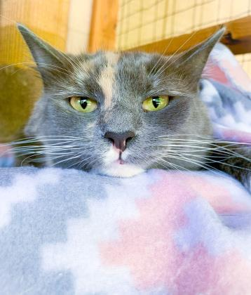 Elle, an adoptable Domestic Medium Hair & Domestic Short Hair Mix in Bloomsburg, PA