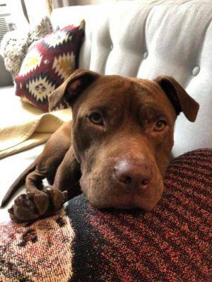 Brownie Labrador Retriever Dog