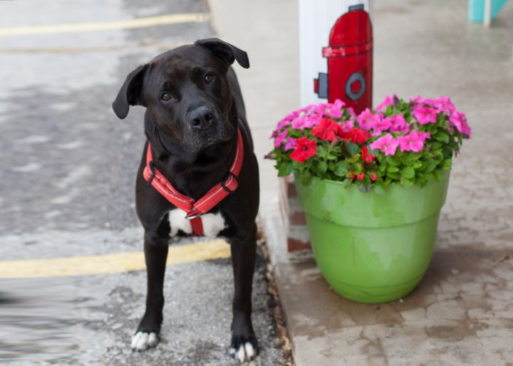 TODD, an adoptable Black Labrador Retriever Mix in Cape Girardeau, MO