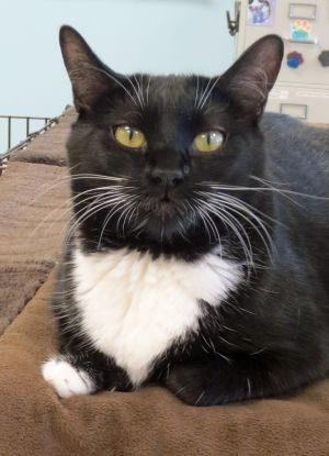 I am a pretty tuxedo lady and have those extra toes on my front paws I was found outside trying