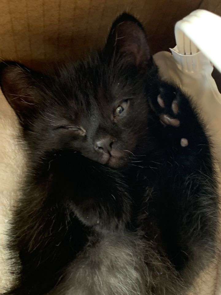 Captain, an adopted Domestic Short Hair in East Lansing, MI