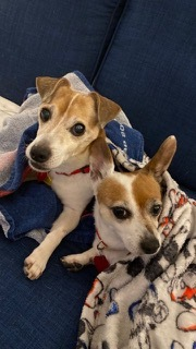 Hi my name is Roo Im around 9 years old and believe I am half Jack Russell Te
