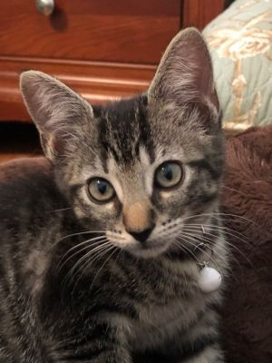 Like her sisters Jodie is a very friendly loving playful and adorable kitten She loves attention