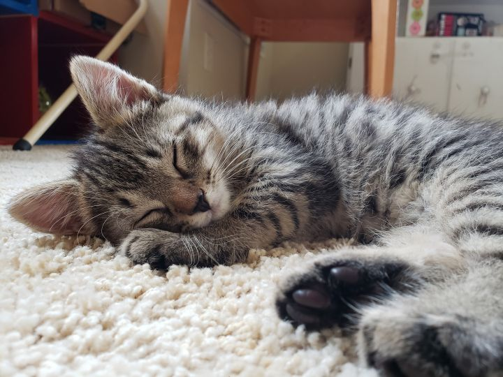 Matthew, an adopted Tabby Mix in Waxhaw, NC