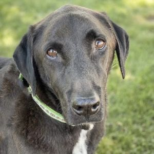 Greetings My name is Emmet and I am a handsome Lab mix - estimated to be 10 ye