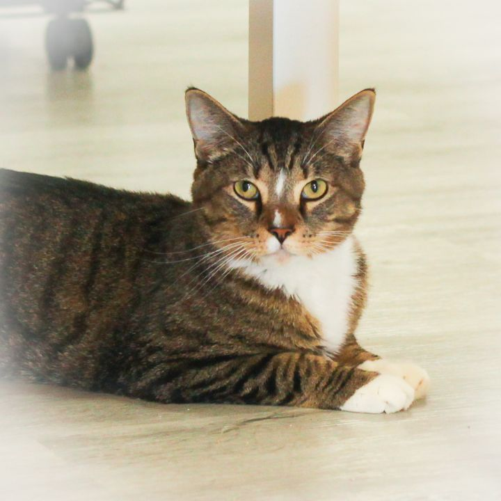 Denver, an adopted Domestic Short Hair in Ponte Vedra, FL