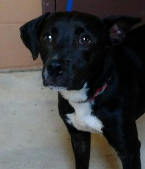 My name is Carson I am a sweet gentle 10 month old male Labrador Retriever mix I weigh about 26