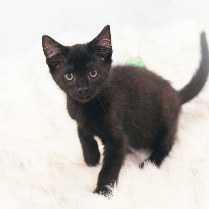 Esme, an adoptable Domestic Short Hair in Ponte Vedra, FL