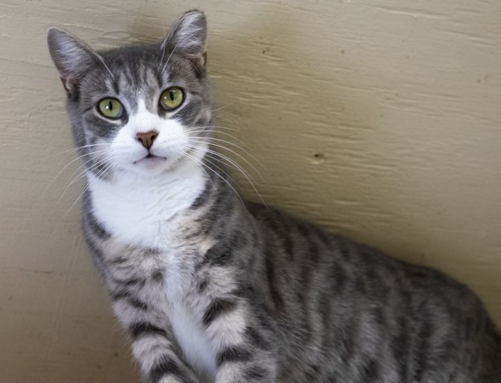 Emery, an adoptable Domestic Short Hair & Tabby Mix in South Ozone Park, NY