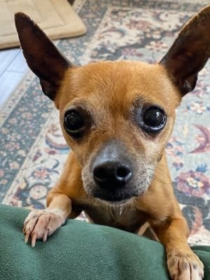 Breed Chihuahua Age 6 yrs Weight 6 lbs Good with dogs yes Good with cats unsure Good with kid