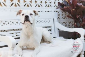 Meet Bellagio Bellagio is a handsome Boxer mix who is about 1 years old and weighs around 55 lbs H