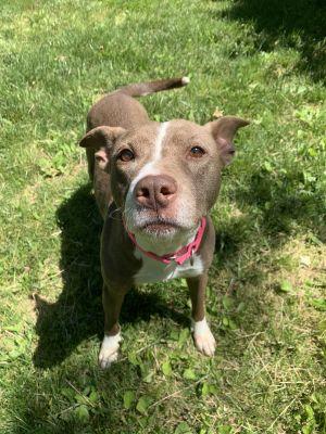 Zayn Pit Bull Terrier Dog
