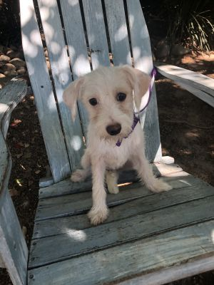 Please read all instructions when inquiring Skyler - The Stunning Pup This little cutie is about 6