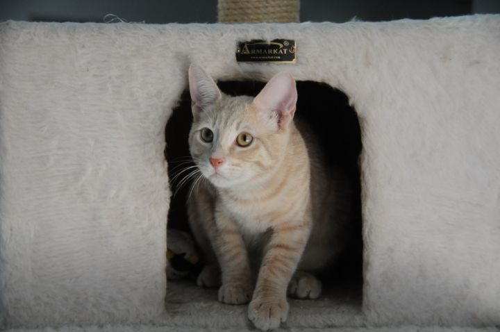 Albany, an adoptable Tabby in Jamestown, CA