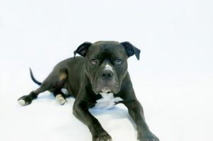 Meet Jethro our handsome 4-year-old American Bulldog mix with the most beautiful shiniest black co
