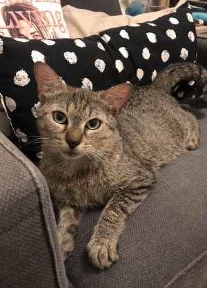 PANDA Tabby Cat