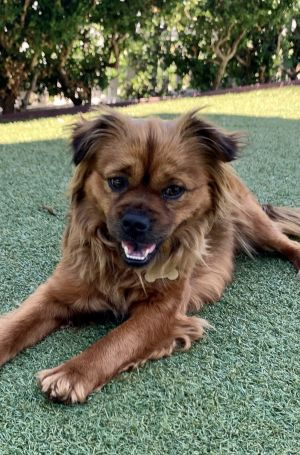This Pele She is a gorgeous Spaniel Pekingese mix and she is between 1-2 yrs o