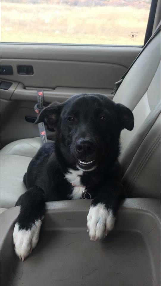 Pretzel, an adopted Border Collie & Corgi Mix in Jackson, WY