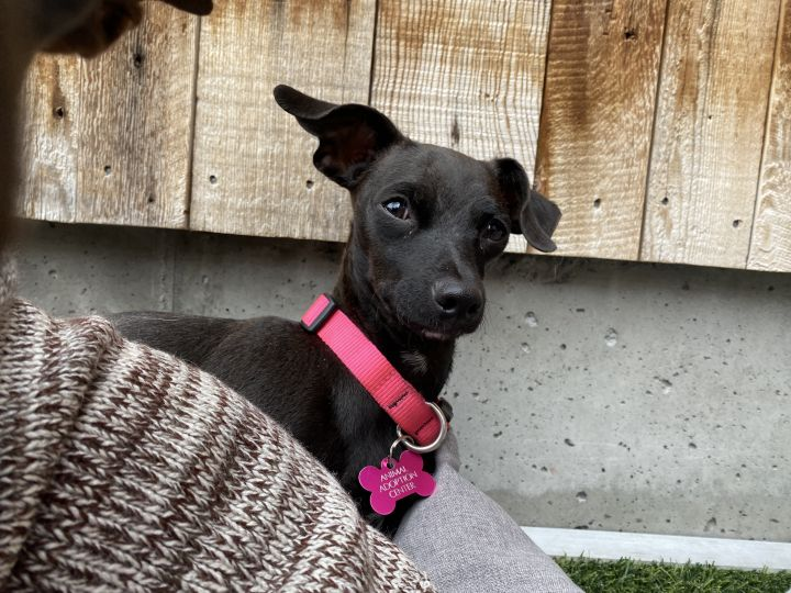 Luna, an adopted Chiweenie in Jackson, WY