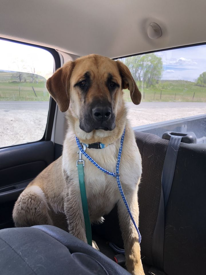 Britt, an adopted Mastiff Mix in Jackson, WY