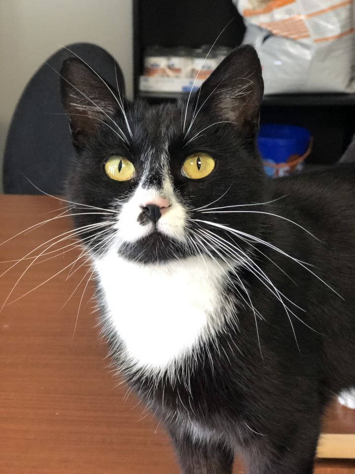 Ziva, an adopted Domestic Short Hair Mix in Springfield, MO