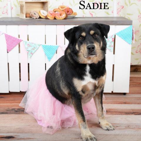 Dog For Adoption Sadie A Rottweiler Siberian Husky Mix In Parkersburg Wv Petfinder