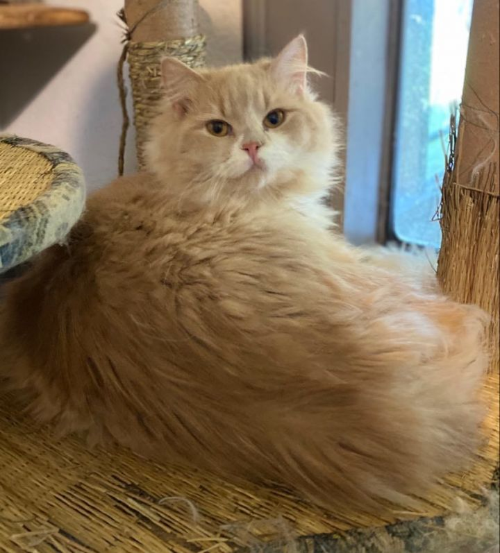 Majority - purebred minuet, an adopted Munchkin & Persian Mix in Ennis, TX
