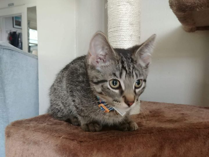 Skipper, an adoptable Domestic Short Hair & Tabby Mix in Eaton Rapids, MI