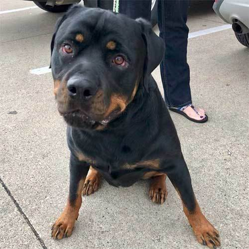 Otto, an adoptable Rottweiler in Lincoln, NE