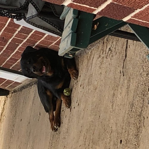 Chaco, an adoptable Rottweiler in Lincoln, NE