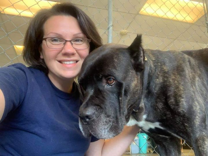 Eros, an adopted Cane Corso in Medford, NY