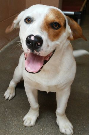 My name is Wally I am a sweet loving 1 year old male BeagleHarrier mix I weigh about 46 lbs