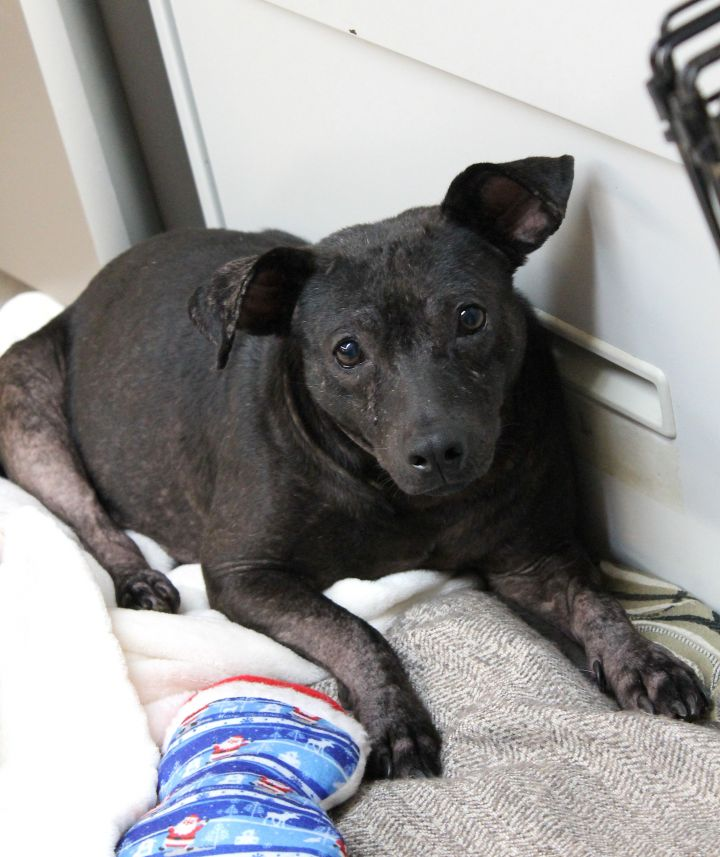 Sage, an adoptable Labrador Retriever Mix in Boca Raton, FL