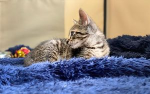 Midnight is a cute social playful kitten Midnight loves to explore and be all over the place He