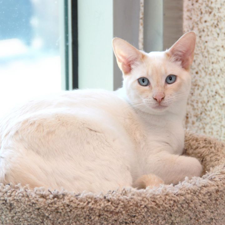 Sven & Olaf, an adoptable Domestic Short Hair Mix in Clovis, CA