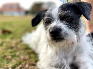Breed Terrier mix Age 3 yrs old Weight 13 lbs Good with dogs yes Good with cats unsure Good w