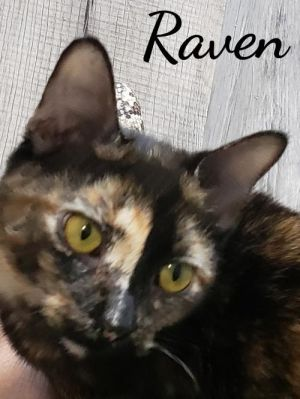 Raven is a gorgeous 9 month old kitten She is very affectionate enjoys playing with her sister Tab