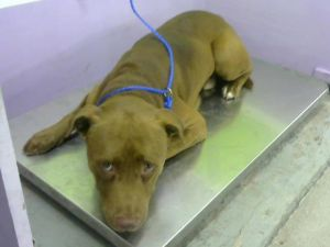 Email BARCFosterhoustontxgov to meet this sweet shy boy He is house-trained walks nicely on a l