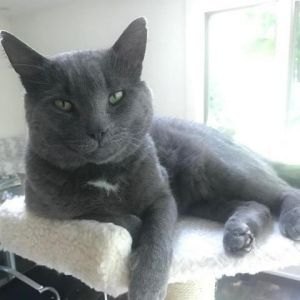 From foster Notch is a beautiful cat who loves his independence but will show affection the more h
