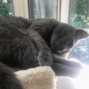 Notch Domestic Short Hair Cat