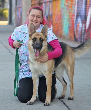 Halo von Haiger is a beautiful 18-month-old German Shepherd Definitely a head-turner this pretty