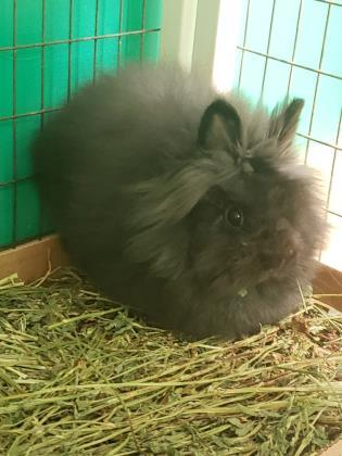 Lil B, an adoptable Angora Rabbit in Oak Park, IL