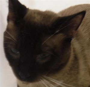 Primary Color Seal Point Weight 962lbs Age 3yrs 0mths 0wks Animal has been Neutered
