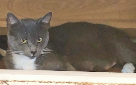 Dusky, an adoptable Domestic Short Hair in Mission Viejo, CA