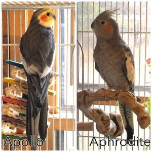 Aphrodite and Apollo are brother and sister and they show their sibling love by preening each other