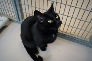 Kassidy is a one and a half year old female black cat who was surrendered to us when her previous