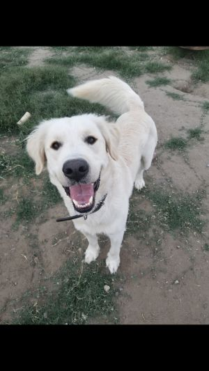 Guinness - The Big Love Bug This stunning golden retriever is looking for his new forever home since
